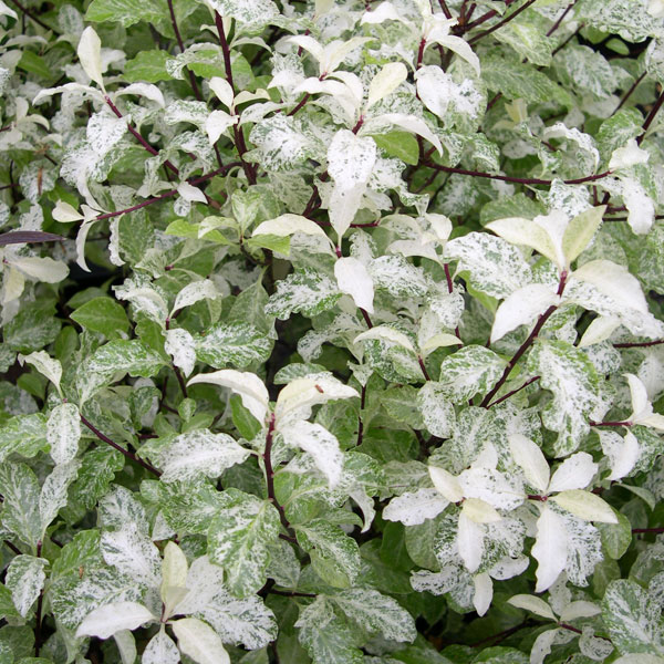 Pittosporum - Alternate hedging